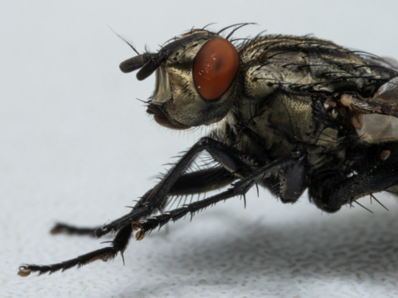 Httpswww.freepik.compremium photomacro photo fly 6303366.htm page 1 query musca domestica position 2